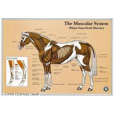 The Muscular System Wall Chart The British Horse Society
