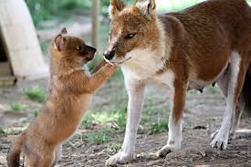 Small Picture Dhole The dhole can also be called the whistling hunter because