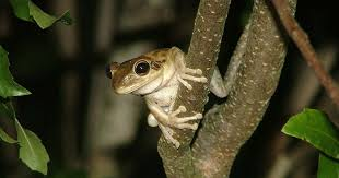 Resident Cuban Frog Takes Over Invasive Tree Yard Species 's qRrwqYA
