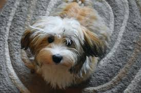 Havanese Growth Chart 6 Best Havanese Dog Food Plus Top Brands For Puppies
