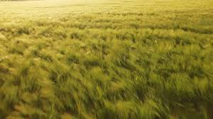 grass field sunset. Grass Field. Delighful Summer Nature Sun Spring Landscape Field Wheat Sunset Green Agriculture T
