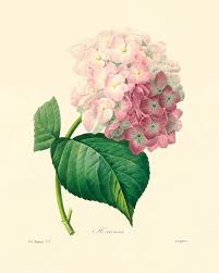 Small Picture Antique Hydrangea botanical prints Vintage prints garden wall art