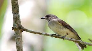 Burung flamboyan jantan memiliki warna paruh bawah yang lebih gelap. Tata Cara Budidaya Burung Flamboyan Yang Praktis Dan Berhasil Trikmerawat Com