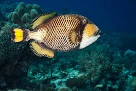 triggerfish bite. Delighful Triggerfish To Triggerfish Bite I