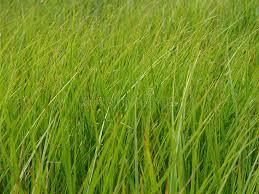 tall green grass field. Download Long Green Grass Stock Photo. Image Of Food, Grass, Tall - 548372 Field