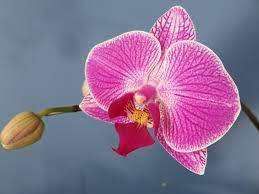 Foto circa fiori gialli dell'orchidea in giardino. Phalaenopsis O Orchidea Falena Consigli Coltivazione E Cura