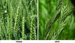 Resultado de imagem para imagens da parábola do joio e do trigo