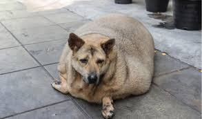 Obesity In Dogs Petcoach
