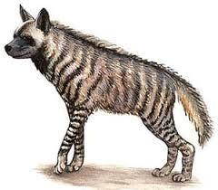 Полосатая гиена гиена полосатая hyaena hyaena ареал родина  Полосатая гиена гиена полосатая hyaena hyaena ареал родина описание гиены окрас размер вес голос среда обитания враги гиен пища поведение размножение