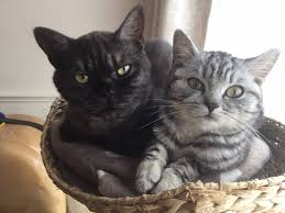 black smoke and silver tabby