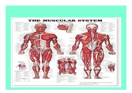 Pdf_ The Muscular System Giant Chart Book E Books_online 674