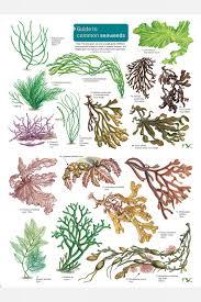 Seaweeds Field Studies Council