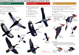 Woodpecker Identification Chart Field Marks Of An