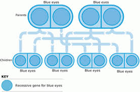 Eye Genetics Chart Eye Color Genetics Chart Familyeducation