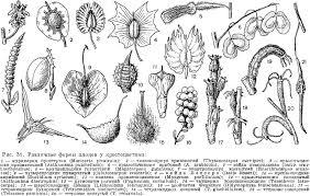 Семейство крестоцветные brassicaceae или cruciferae это Что  Семейство крестоцветные brassicaceae или cruciferae