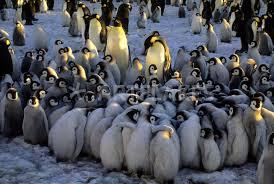 emperor penguin huddle.  Huddle 20024219 And Emperor Penguin Huddle