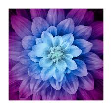 Aurora Design Fabrics Hoffman Fabrics 0560465 Hoffman Digital Dream Big Flower 43inpanel Aurora