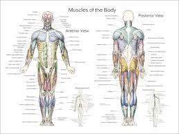 Anatomical Chart Posters Muscle Anatomy Posters Anterior Posterior Deep Layers