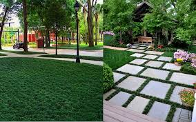 the best plants to grow between stepping stones pavers from wilson bros gardens