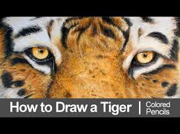 color tiger drawing. Brilliant Tiger How To Draw A Tiger With Colored Pencils Inside Color Drawing D