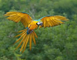 <b>Blue</b>-and-<b>yellow</b> macaw - Wikipedia