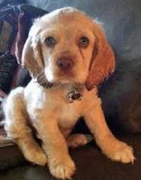 light golden er spaniel puppy with ice blue eyes stunning