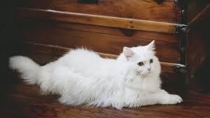elegant white fluffy cat wallpaper