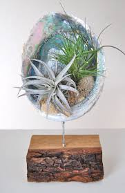 ABALONE SHELL STAND WITH AIR PLANTS 8