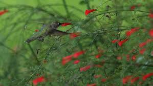 hummingbird garden plants.  Hummingbird Plant A Hummingbird Garden Using The Watersaver Landscape Coupon And Plants R