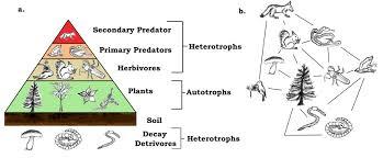 food web pyramid 11 4 food chains and food webs geosciences libretexts