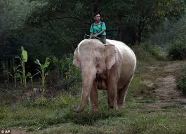 white elephant animal. Fine Animal The Elephants Have Been Revered For Centuries In Asian Nations Including  Burma Thailand And Laos With White Elephant Animal