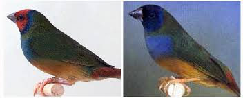 As cores do Diamante de Gould Images?q=tbn:ANd9GcR0AGR2L9HFwELCrSvKLB9hSgMZZbedURe74UgrUY_F7BiC0jkeDA