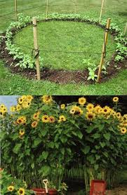 Plant A Ring Of Sunflowers To Make A Sunflower House I Will Be Sunflower House