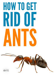 ants in kitchen cabinets. Plain Ants How To Get Rid Of Ants  Gets Rid Them In The House And Outdoors In Kitchen Cabinets E