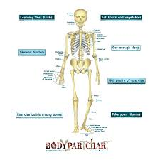 Simplified Skeletal System Labeled Body Part Chart Removable Wall Graphic
