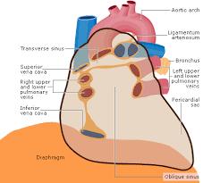 pericardial sac anatomy