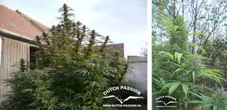 aerogarden weed harvest. growing weed outside\u2026. easily aerogarden harvest