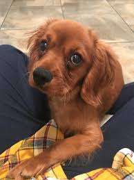 month old Cavalier King Charles Spaniel ...