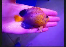 interruptus angelfish for sale