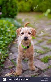 brown terrier mix puppies. Contemporary Puppies Bright Eyed Curious Terrier Mix Puppy With Scruffy Red Brown Fur Standing  On Brick Patio In Garden To Brown Terrier Mix Puppies P