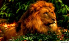 42 lion hd wallpapers 1080p free