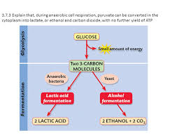 during anaerobic cell respiration pyruvate can be converted in the cytoplasm into lactate or ethanol and carbon dioxide with no further yield of atp