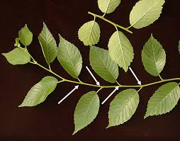 How To Identify An Elm Tree  Open Elm ProjectGreen Fruit Tree Identification