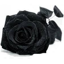 100 Pcs Black Rose Seeds China Rare Flower Lover DIY Plants ...
