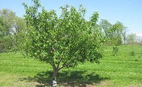 Fruit Tree Care Watering U0026 Fertilizing  Stark Brou0027sCherry Fruit Tree Care