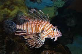 Tiger Sea Fish Photograph by Artistinoz Jodie sims