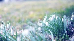 march wallpaper hd. Plain March 1920x1080 Wallpaper Spring Snowdrops Grass Light March Intended March Hd 9
