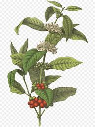 coffee bean plant illustration. Simple Coffee Coffee Bean Cafe Botanical Illustration Arabica Coffee  Beans To Bean Plant Illustration T