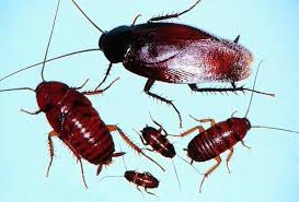 Smokey Brown Roaches Smokybrown Cockroach Control And Information