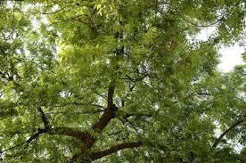 liliana usvat reforestation and medicinal use of the trees  liliana usvat reforestation and medicinal use of the trees